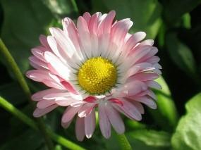 Обои Цветок маргаритки: Цветок, Розовый, Садовые цветы, Цветы