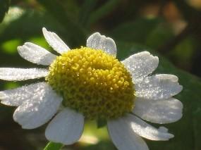 Обои Ромашка в росе: Цветок, Роса, Ромашка, Утро, Цветы