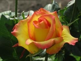 Обои Королева сада: Роза, Цветок, Яркие цветы, Цветы