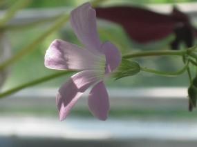Обои Нежный цветок: Лучи солнца, Колокольчик, Розовый, Цветы