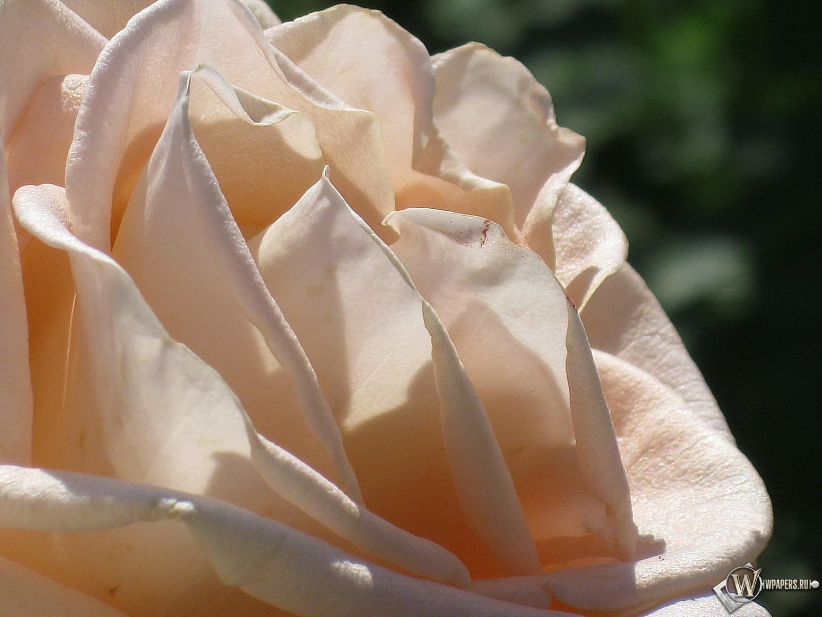 Кремовая роза 1600x1200