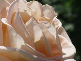 Обои Кремовая роза: Роза, Лето, Королева, Цветы