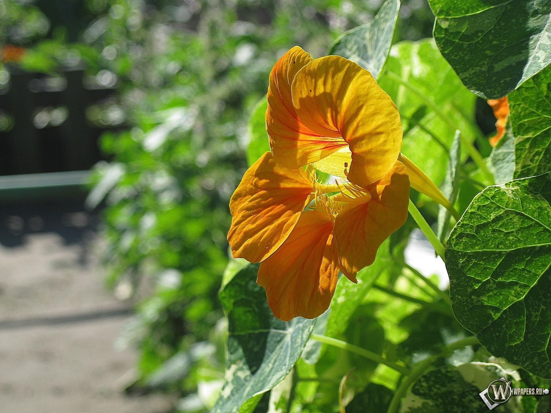 Цветок настурции 1920x1440