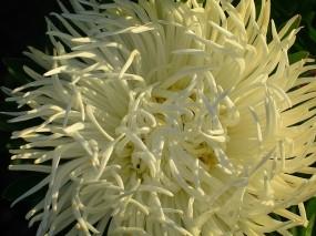 Обои Астра: Цветок, Белый, Астра, Цветы
