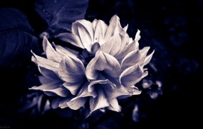Обои Готический цветок: Цветок, Красота, Готика, Цветы