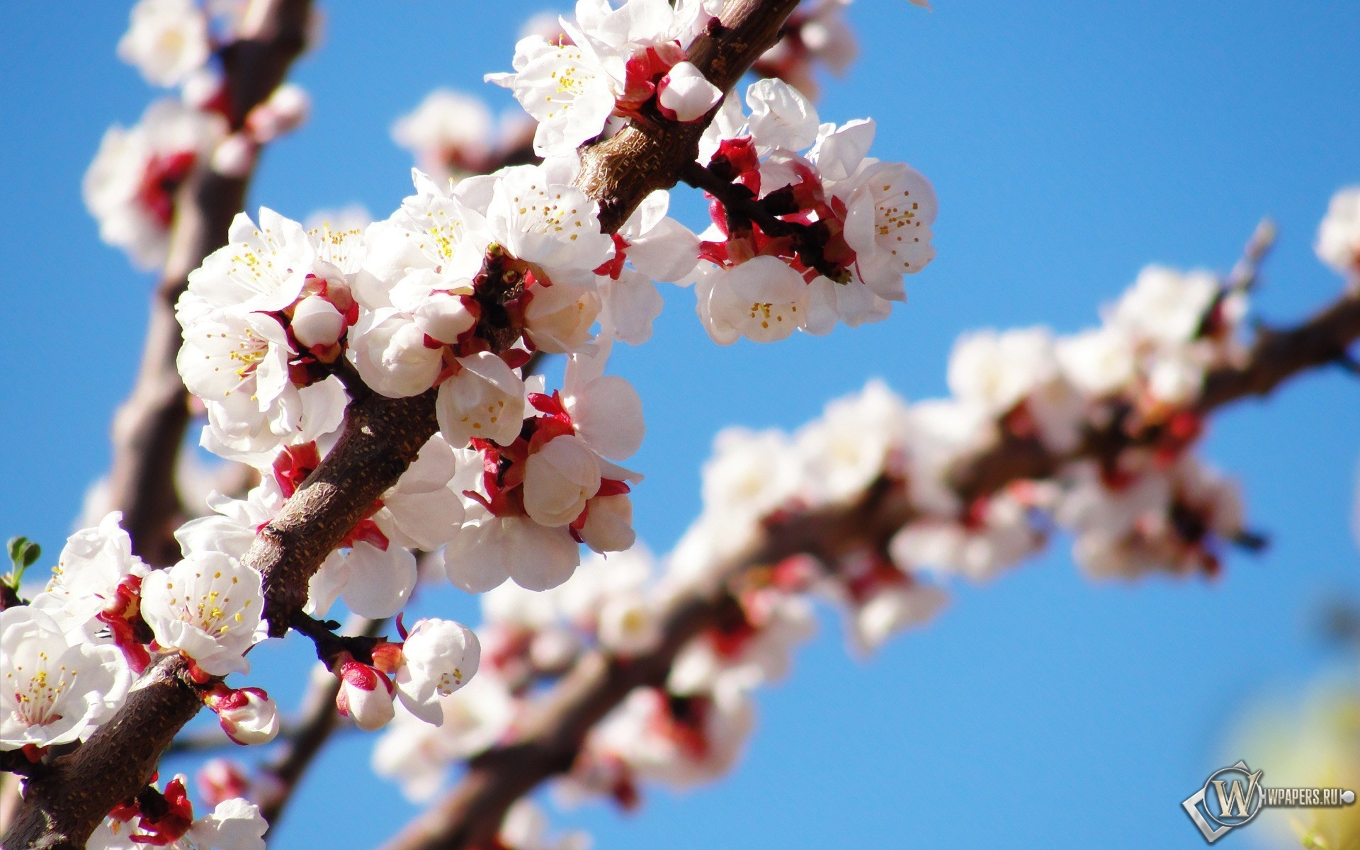 Весеннее цветение 1920x1200