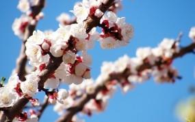 Обои Весеннее цветение: Дерево, Весна, Цветение, Цветы