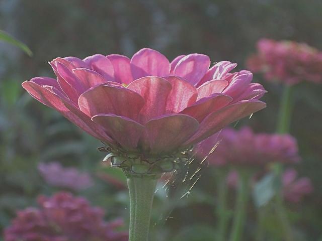 Розовая цинния