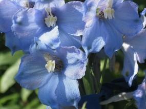 Обои Голубой дельфиниум: Цветы, Цветы