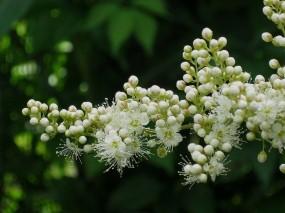 Обои Белое соцветие: Цветы, Бутоны, Соцветие, Цветы