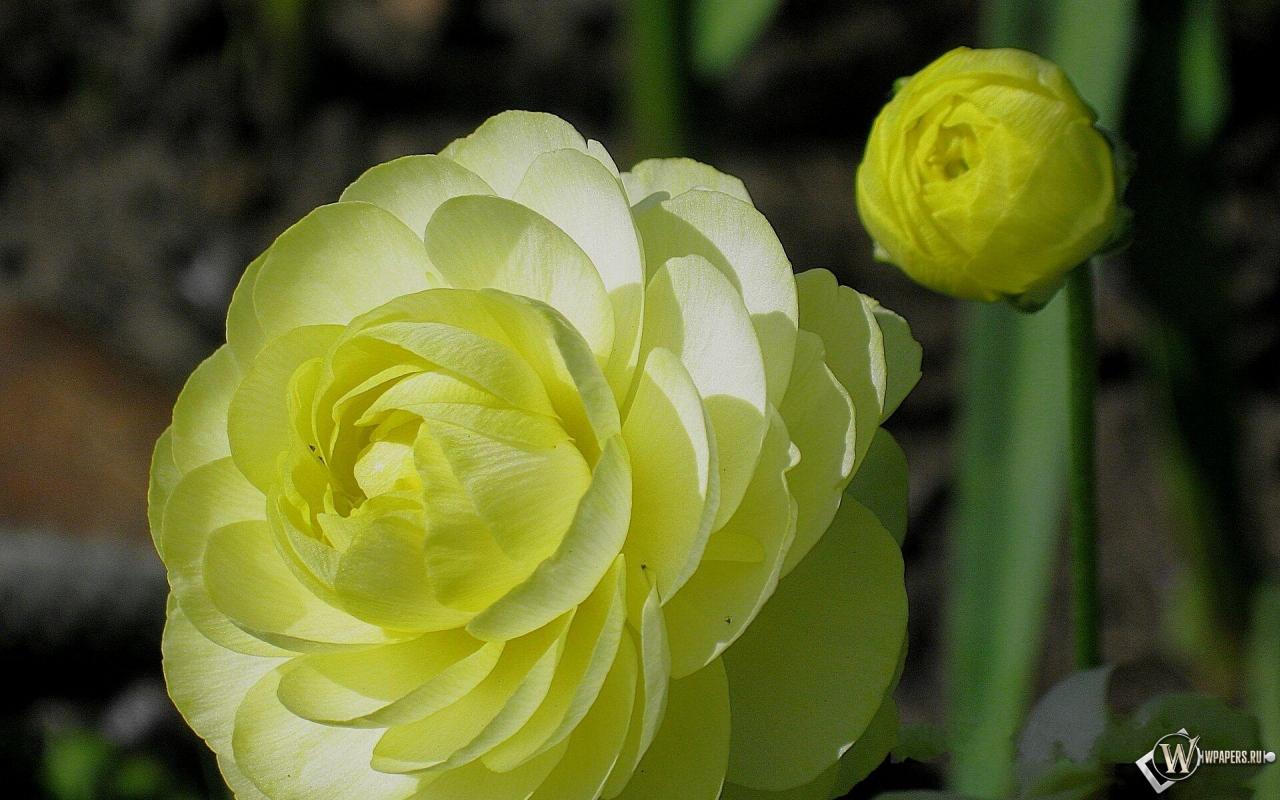 будет разобраться, показать цветок лютик фото женушка тебя
