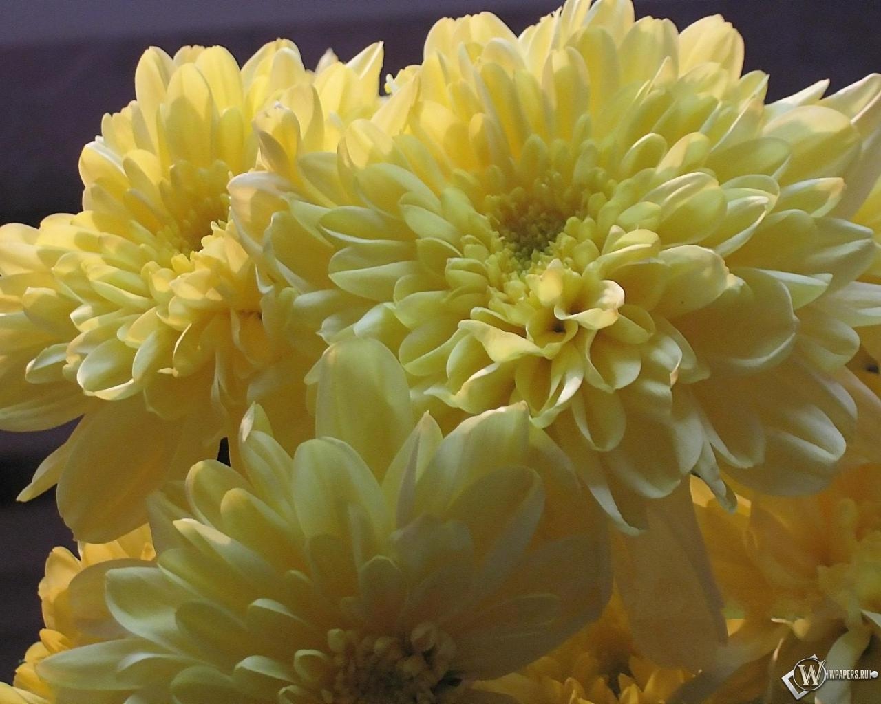 хризантемы цветы розы HD обои для рабочего стола
