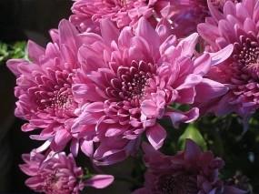 Обои Сиреневые хризантемы: Цветы, Букет, Хризантемы, Цветы