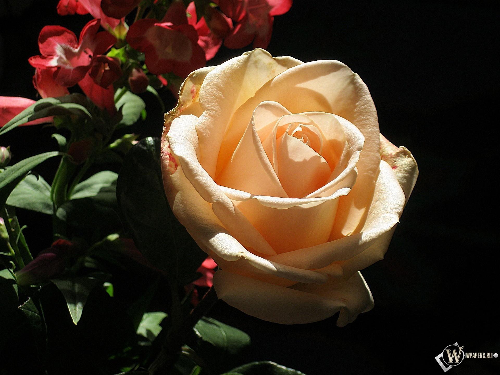 кремовая роза 1920x1440