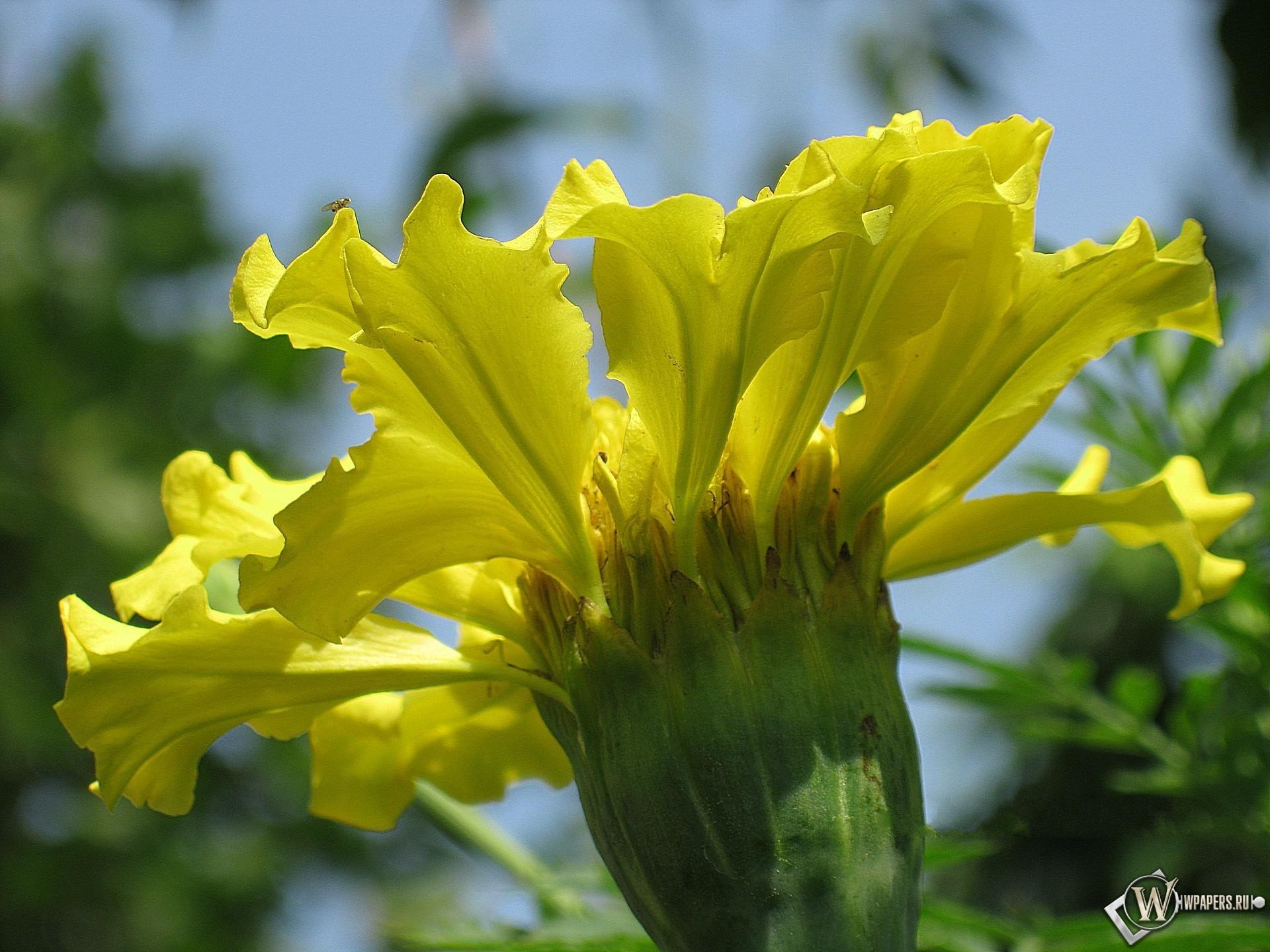 Желтый бархатец 1920x1440
