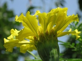 Обои Желтый бархатец: Цветок, Желтый, Бархатец, Цветы