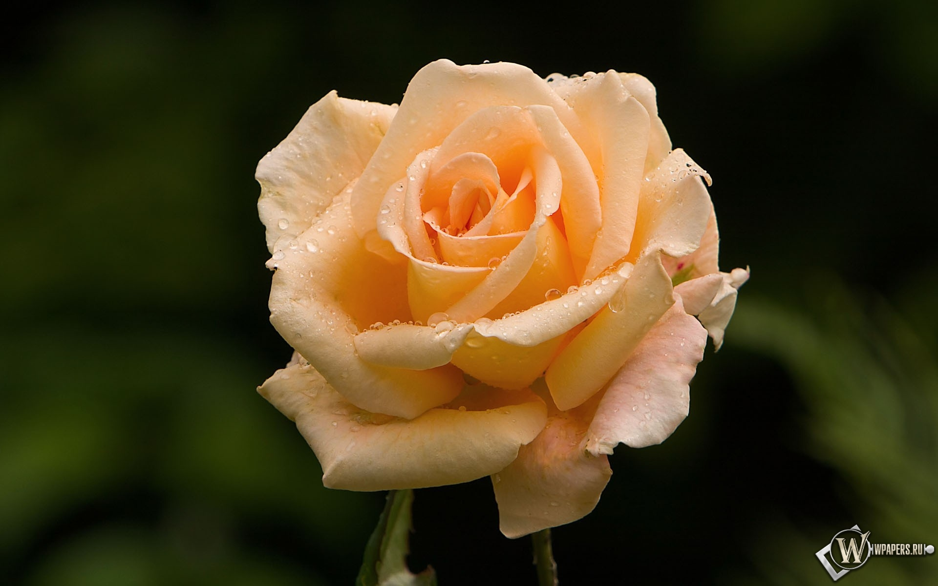 Розовая роза 1920x1200