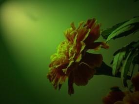 Обои Бархатец махровый: Цветок, Бархатец, Цветы