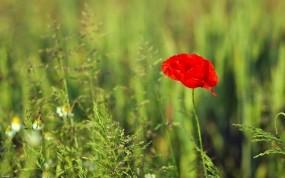 Обои Мак: Растение, Зелёный, Красный, Мак, Цветы