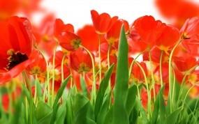 Обои Красные тюльпаны: Поле, Цветы, Тюльпаны, Цветы