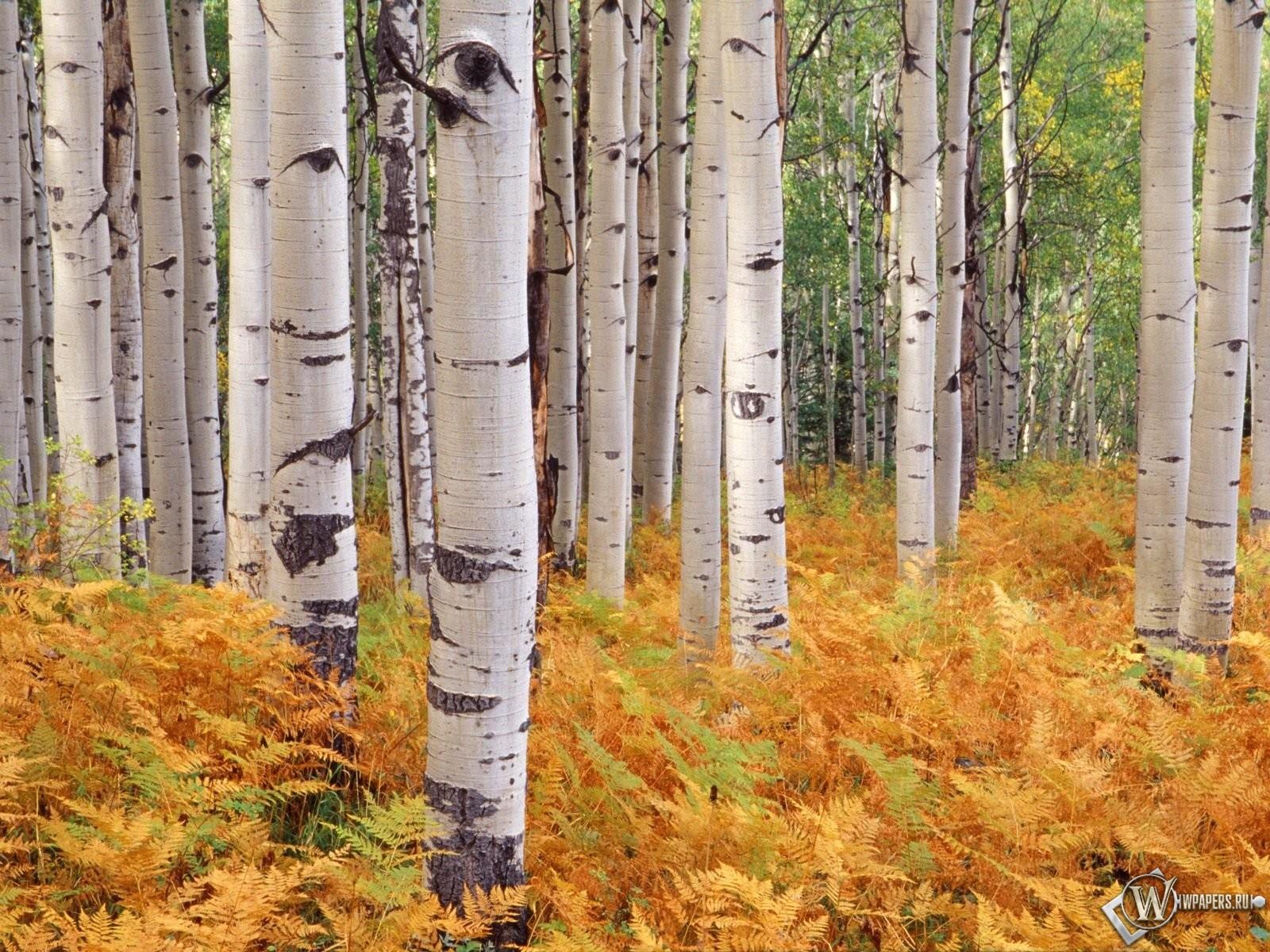 Березы в осеннем лесу 1600x1200