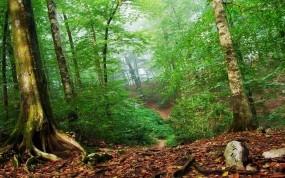 Обои Лесная чаща: Лес, Зелёный, Листья, Деревья