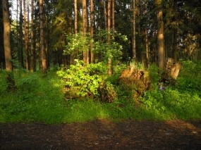 Обои Ярцевский лес весной на закате: Зелень, Лес, Весна, Деревья