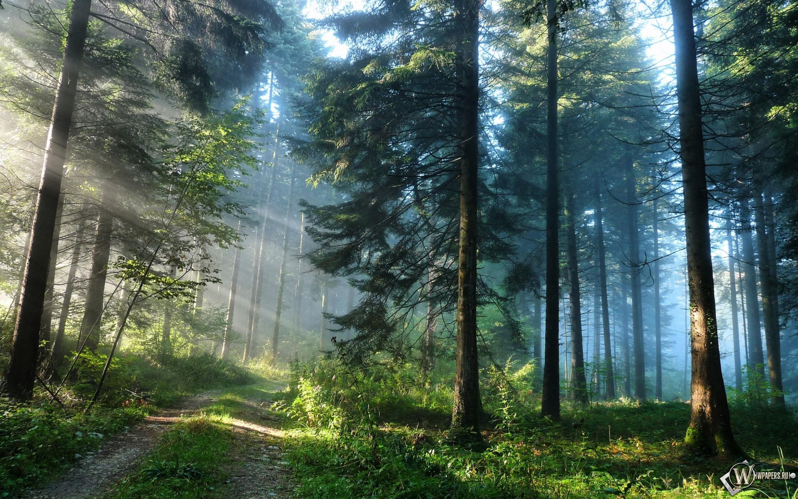 Кусочек лета в утреннем сосновом лесу 2560x1600