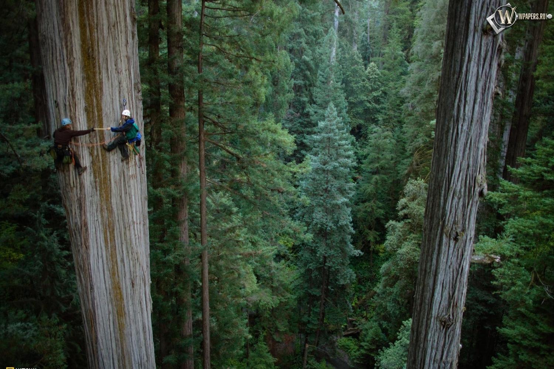 фото леса гигантской секвойи
