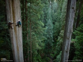 Обои Леса гигантской секвойи: Лес, Деревья, Секвойя, Деревья