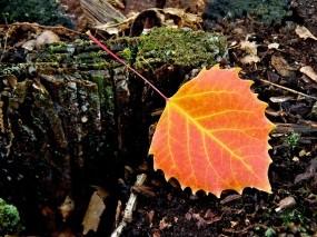 Обои Макро лист: Лист, Осенний лист, Макро, Деревья
