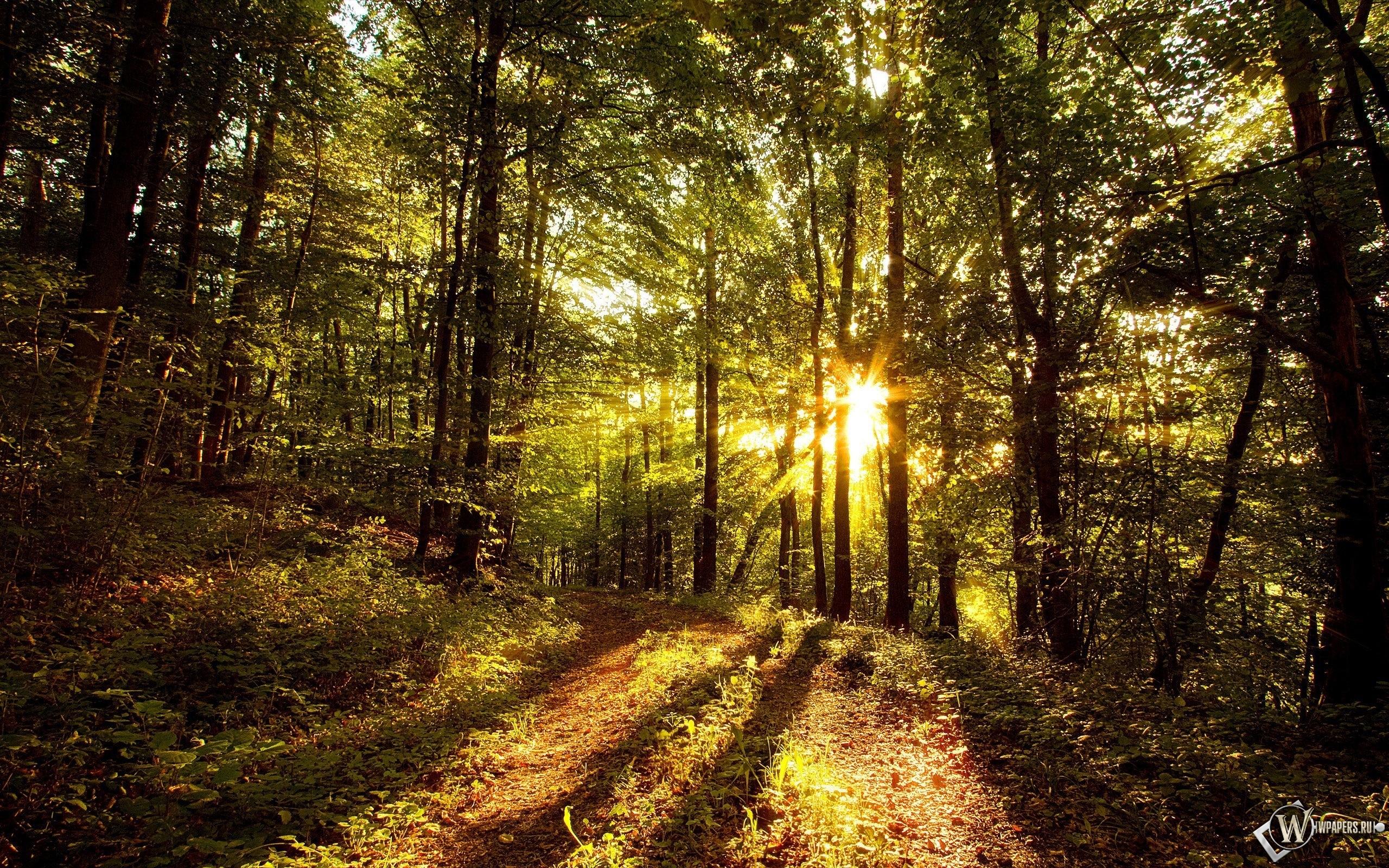 Солнце в лесу 2560x1600