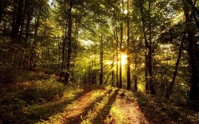 Обои Солнце в лесу: Свет, Лес, Деревья, Солнце, Деревья