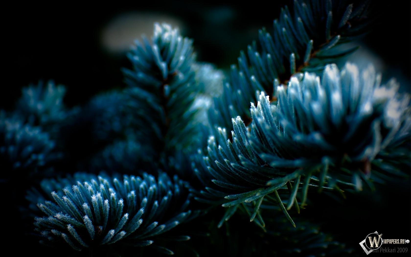 Голубая ель 1680x1050