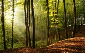 Обои Лучи солнца в лесу: Свет, Деревья, Природа, Дерево, Лучи, Листья, Деревья
