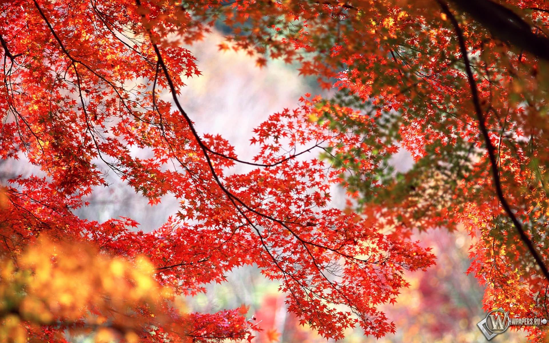 Кленовые листья 1920x1200