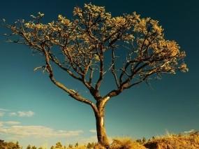 Обои Сухое дерево в Африке: Дерево, Небо, Листья, Деревья