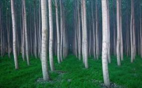 Обои Вертикальные деревья: Лес, Деревья, Трава, Деревья
