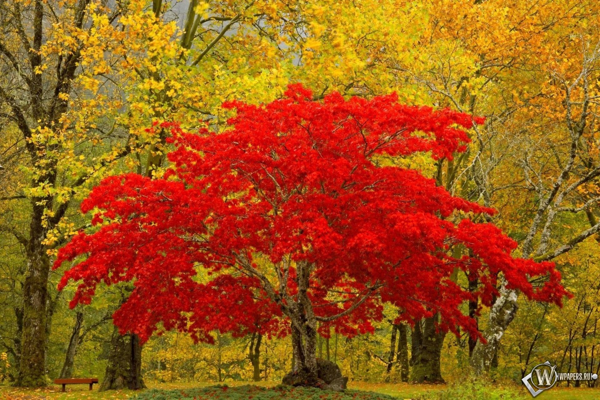 Красное дерево 1920x1280