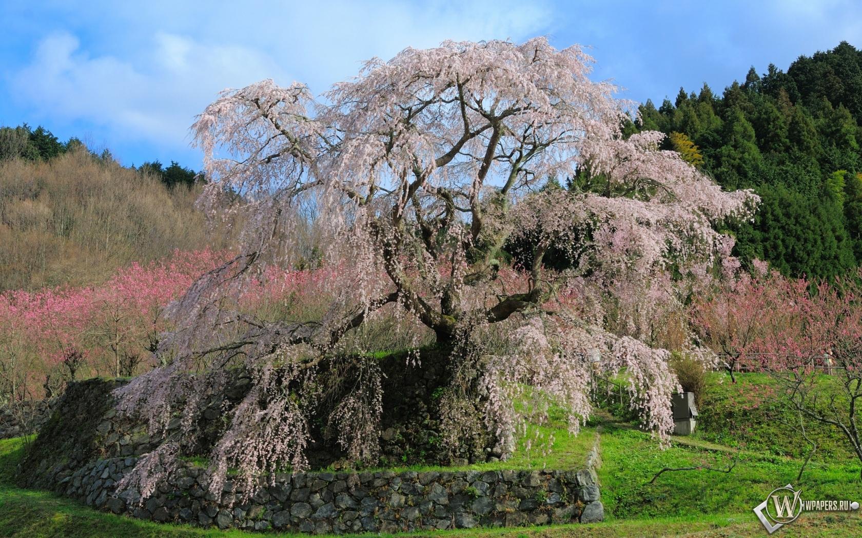 Цветущая сакура 1680x1050