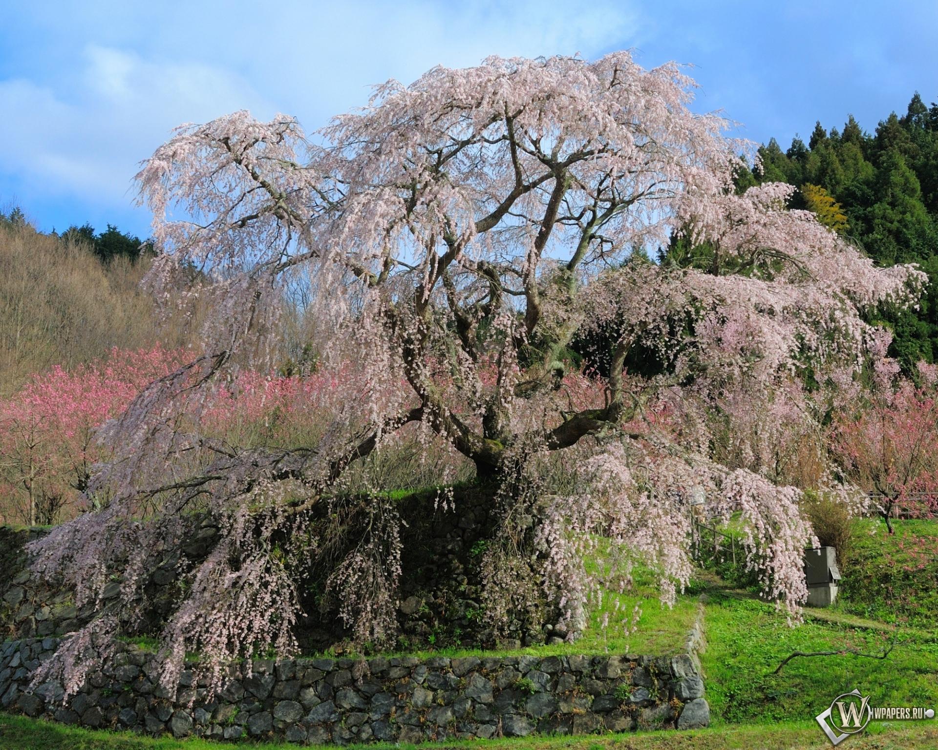Цветущая сакура 1920x1536