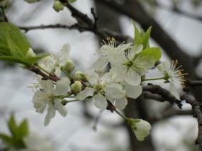 Обои Весеннее цветение: Деревья, Природа, Цветы, Деревья