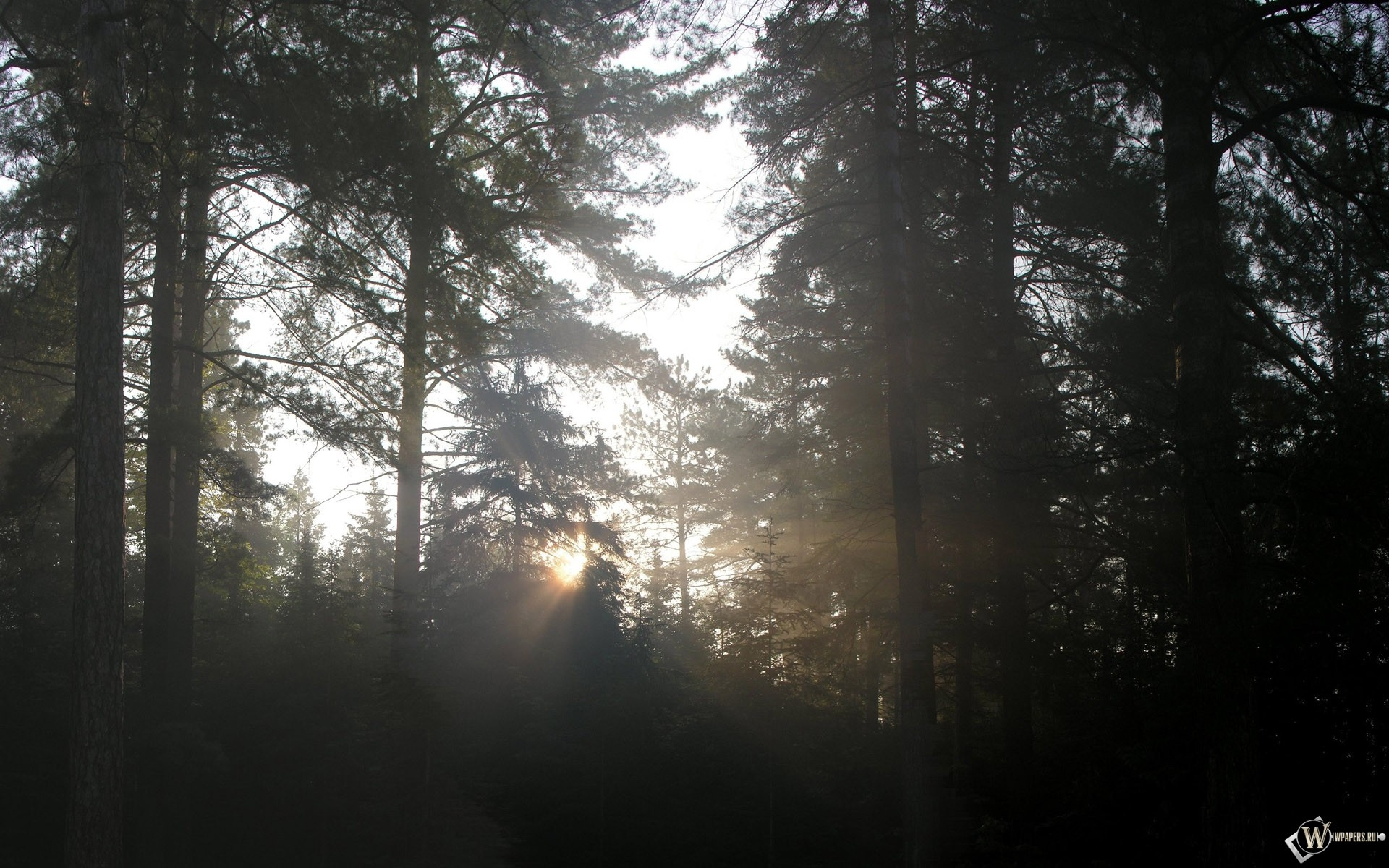 Густой лес 1920x1200