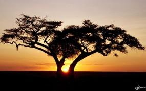 Обои Одинокое дерево на закате: Закат, Дерево, Деревья