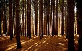 Обои Сосновый лес: Свет, Лес, Деревья, Сосны, Деревья