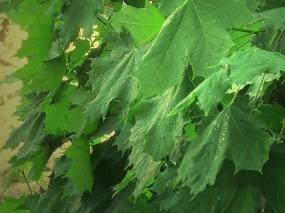 Обои Канадский клен: Клён, Листья, Деревья