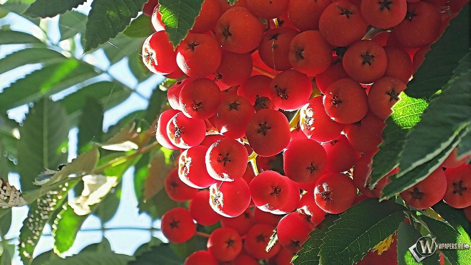 Картинки рябины гроздь