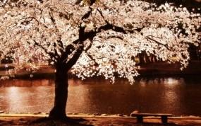 Обои Цветущее дерево: Дерево, Цветы, Деревья