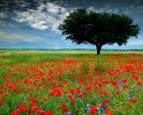 Обои Дерево среди цветов: Поле, Дерево, Цветы, Маки, Деревья