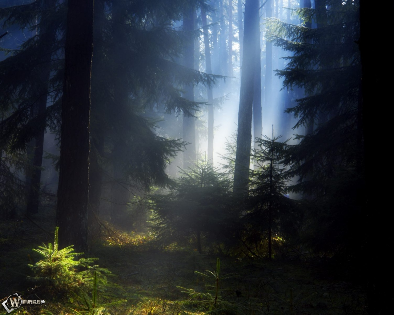 Еловый лес 1280x1024